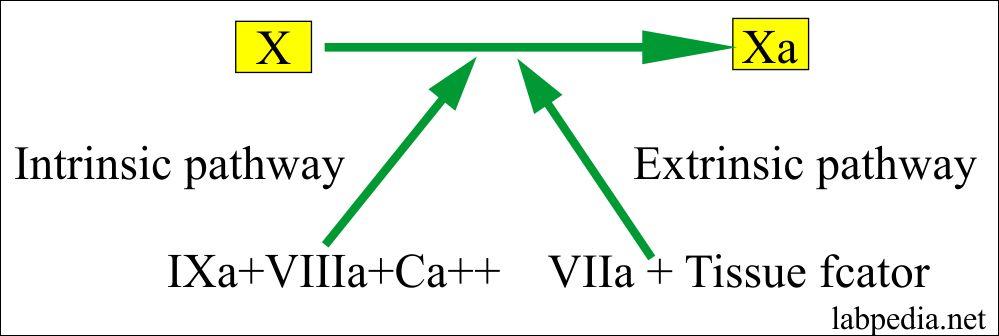Activation of factor X to Xa
