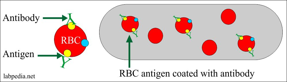 Red blood cells coated with antibody