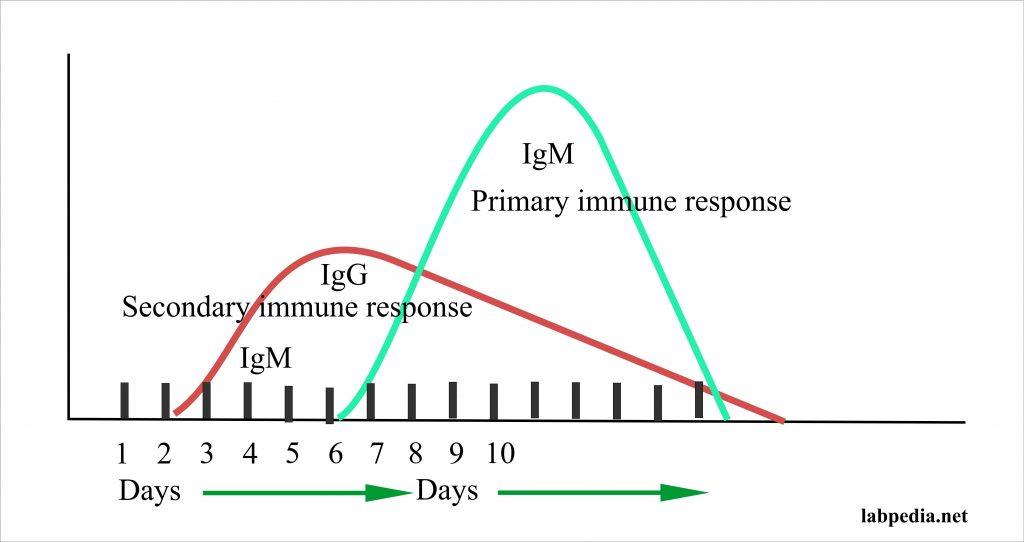 Immune response primary and secondary