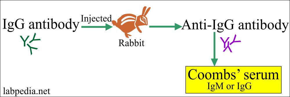 Formation of Coomb's serum in the rabbit