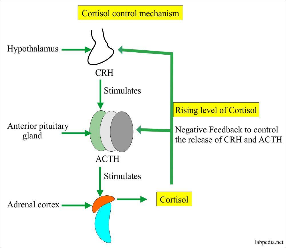 Cortisol hormone control mechanism