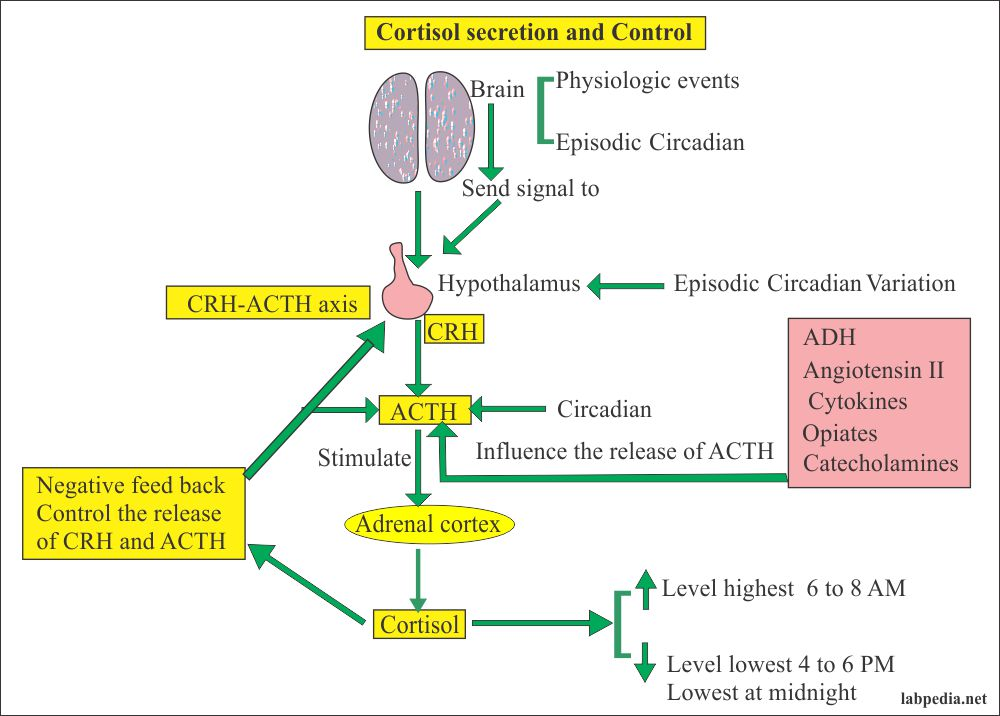 Cortisol hormone production and control