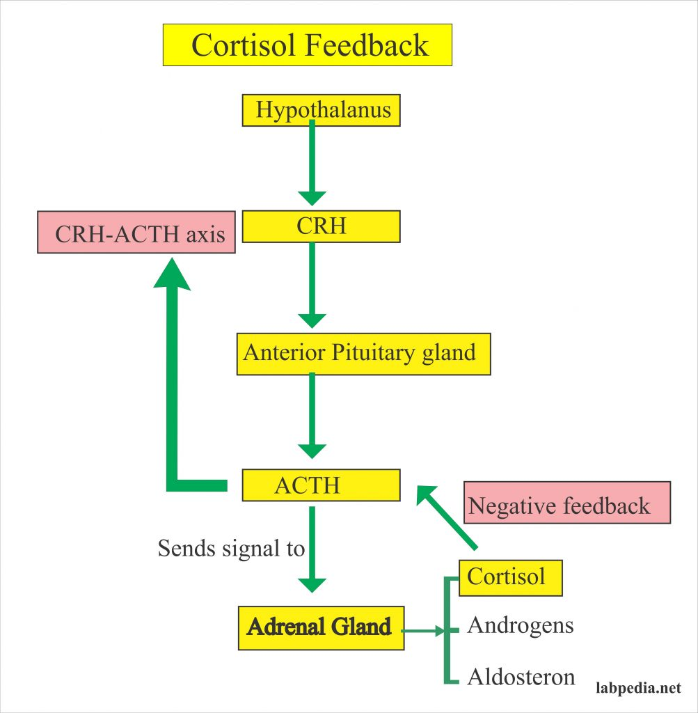Cortisol feedback and control mechanism