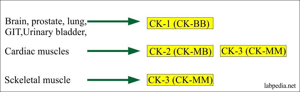 Creatine kinase in different organs