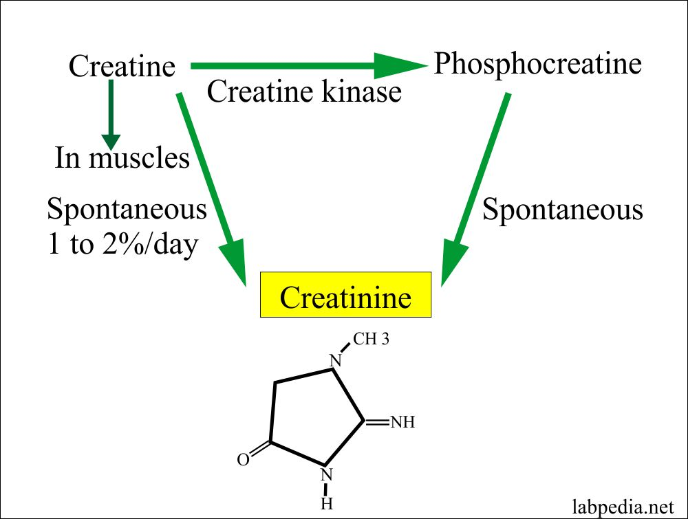 Creatinine formation and formula