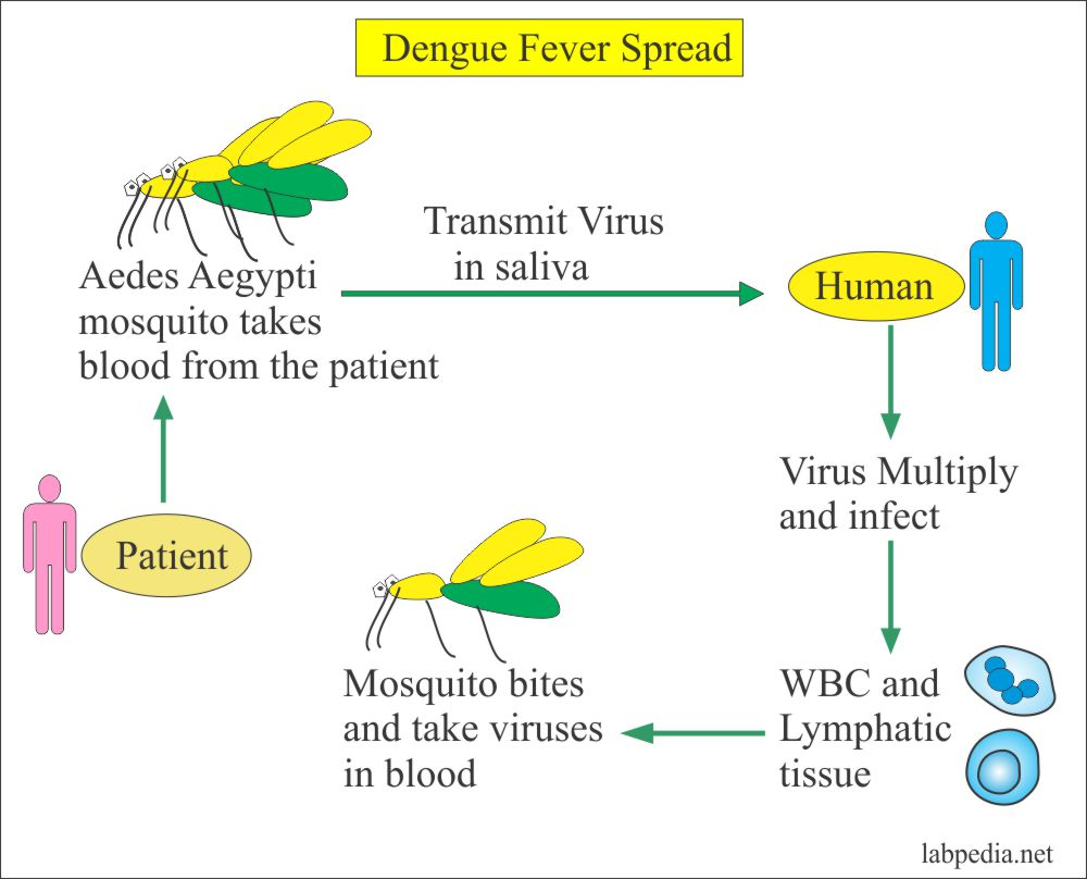 Dengue Fever, Dengue Hemorrhagic Fever