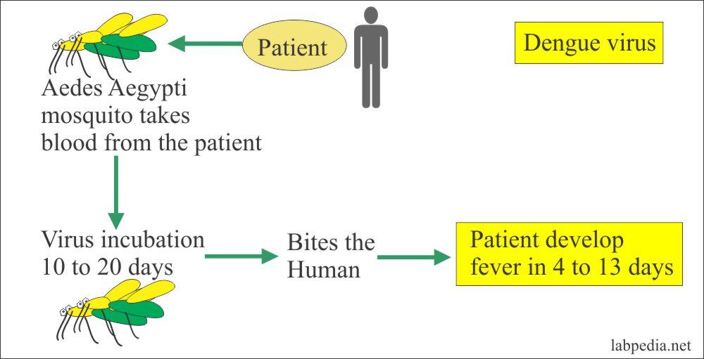 Dengue fever spread