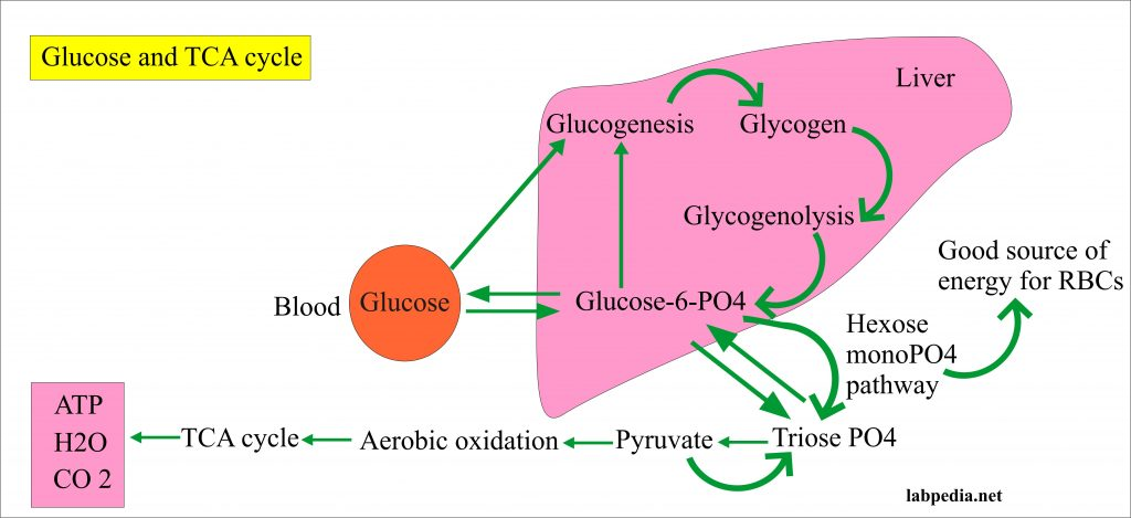 Glucose and TCA cycle