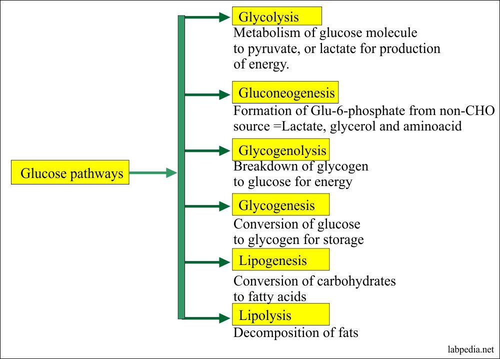 Glucose metabolism pathways