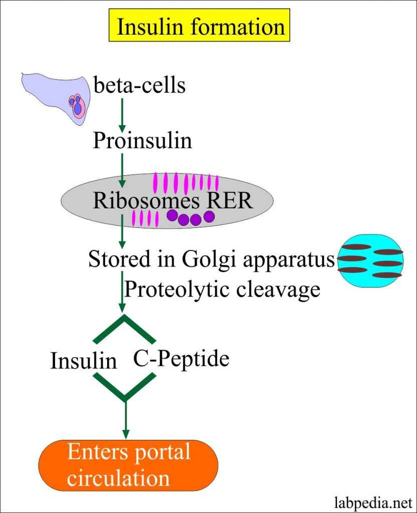 Insulin and C-peptide formation