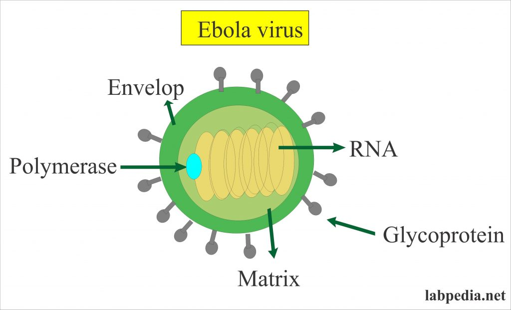 Ebola Virus (Haemorrhagic Fever)