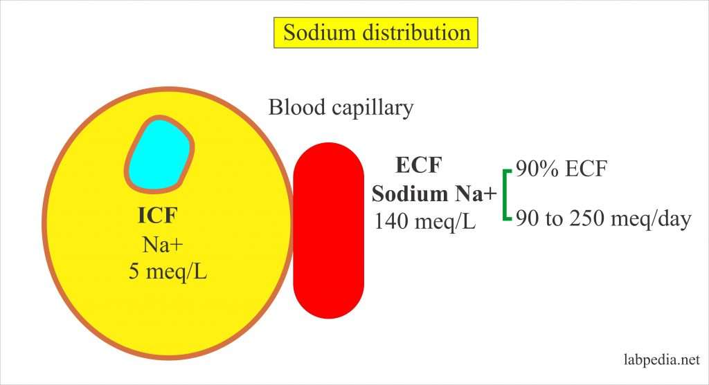 Sodium distribution in the cell and blood