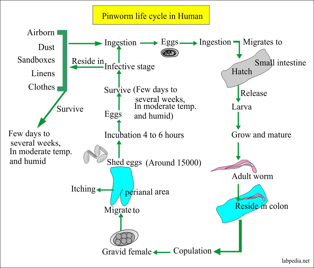 Pinworm life cycle in the humans