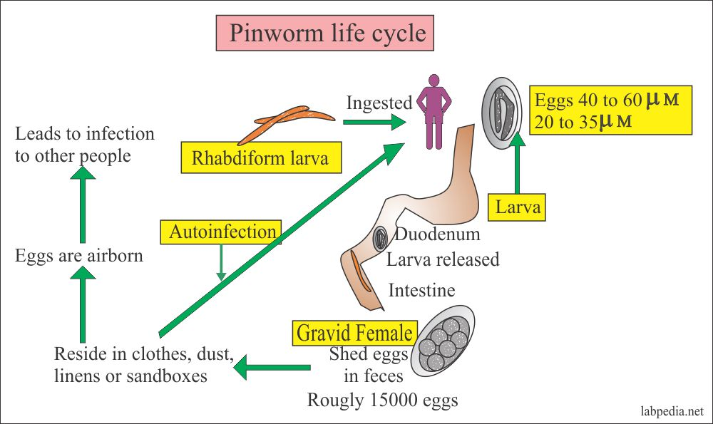Pinworm life cycle and spread