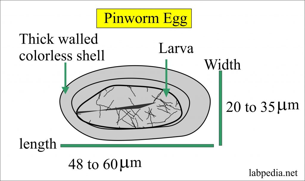 Pinworm egg structure