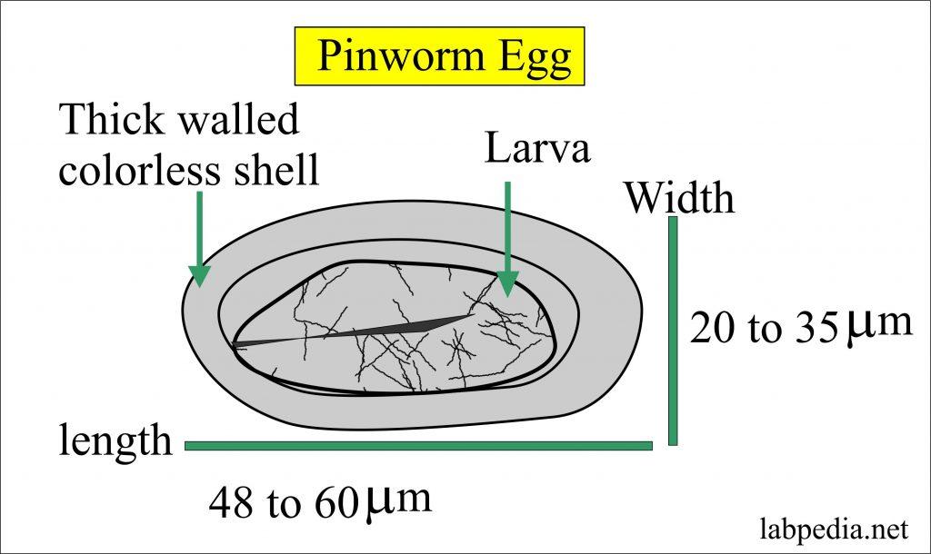 enterobius vermicularis recete micro negii