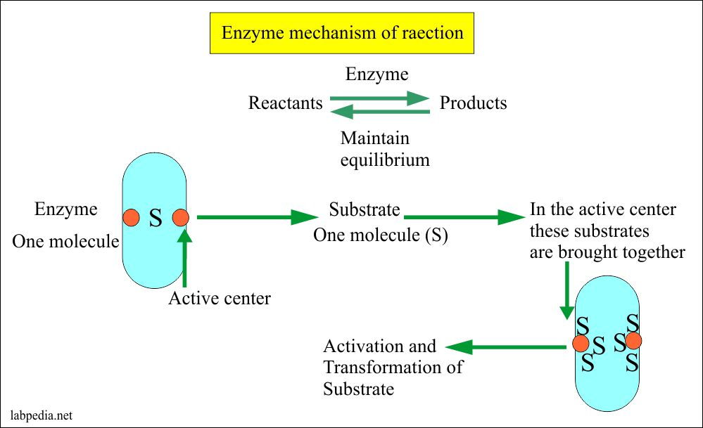 Enzyme mechanism of reaction