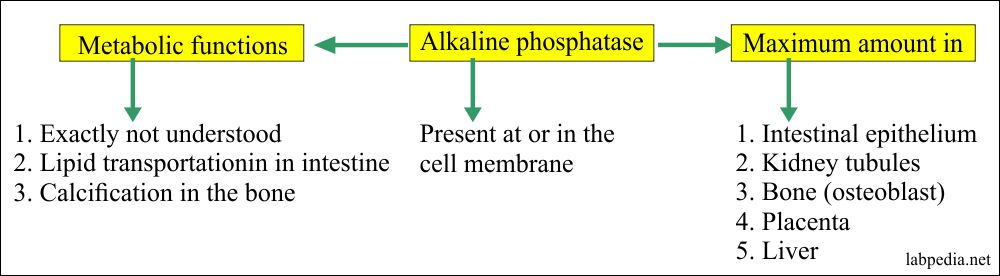 Alkaline phosphatase sources and functions
