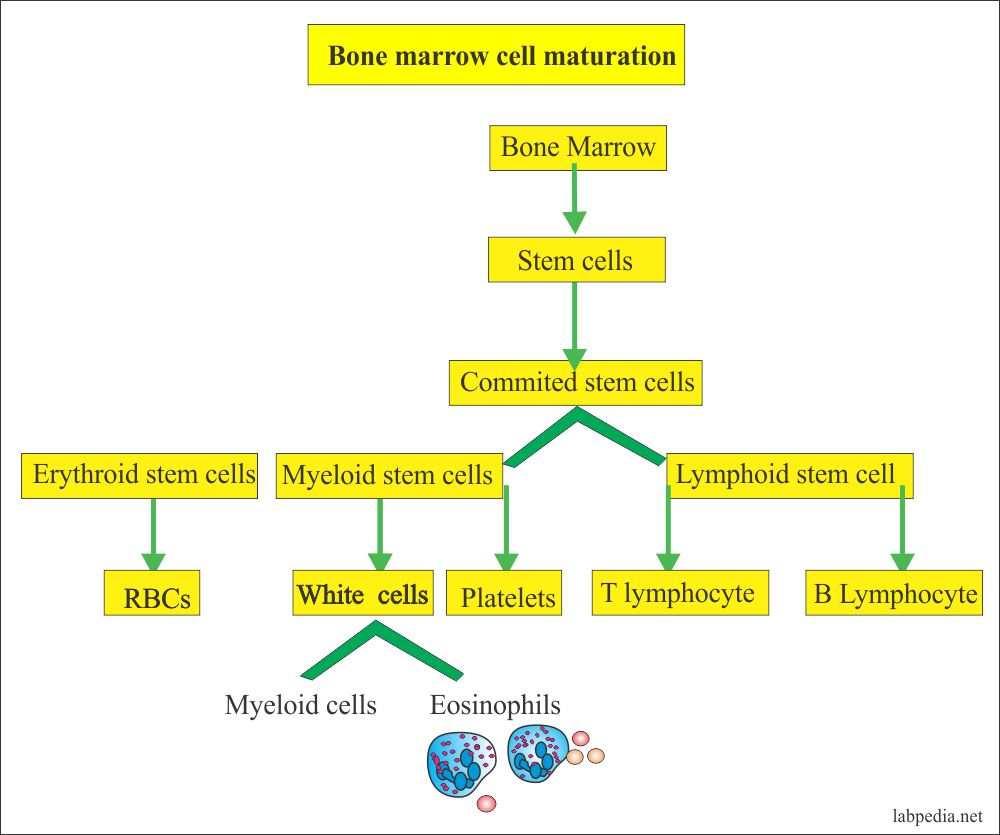 Bone marrow cells and their maturation