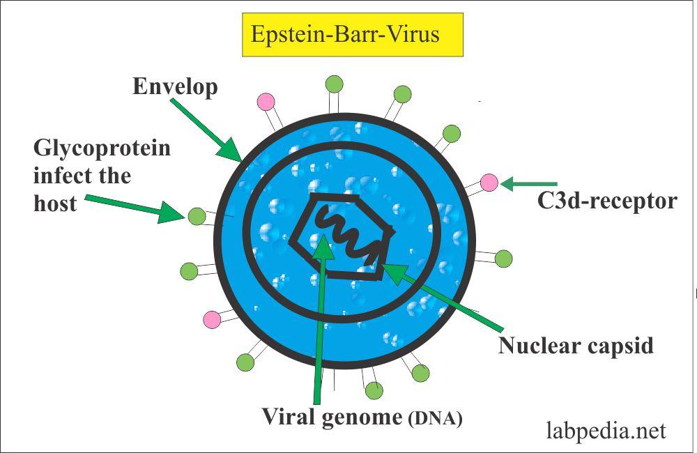 Epstein-Barr virus structure