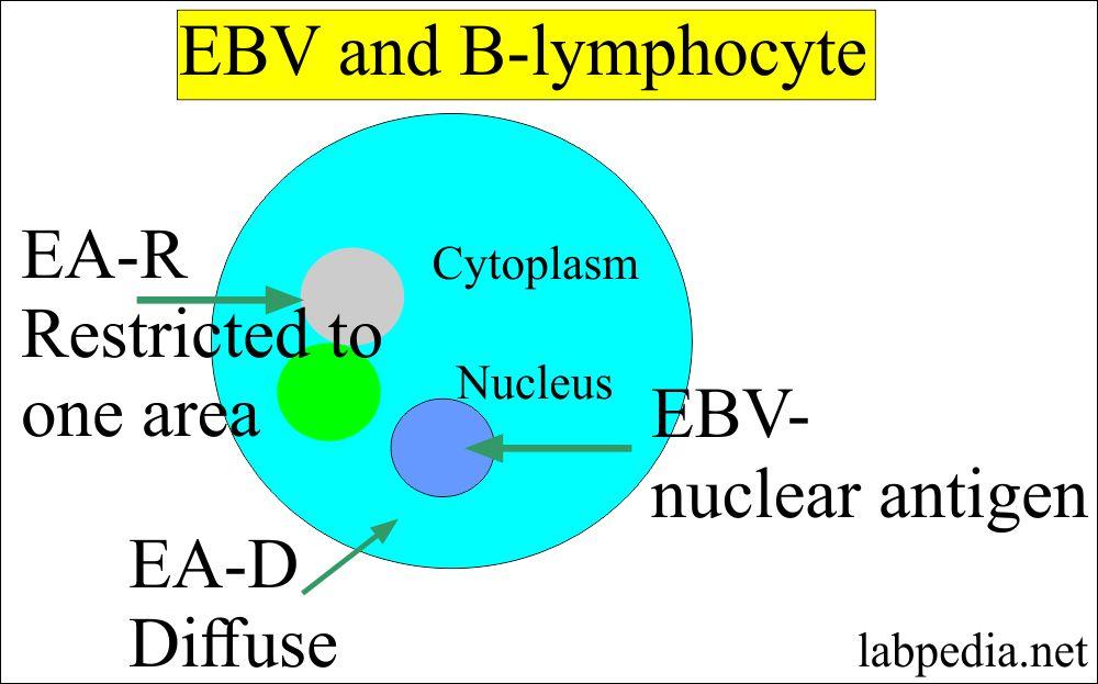 Epstein-Barr virus in B-lymphocyte