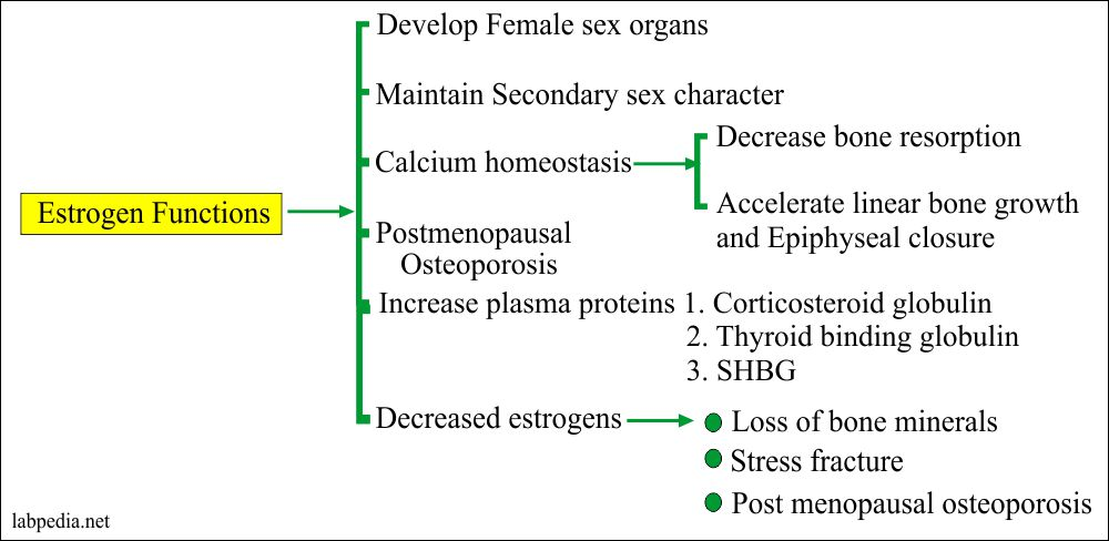 Functions of the Estrogen