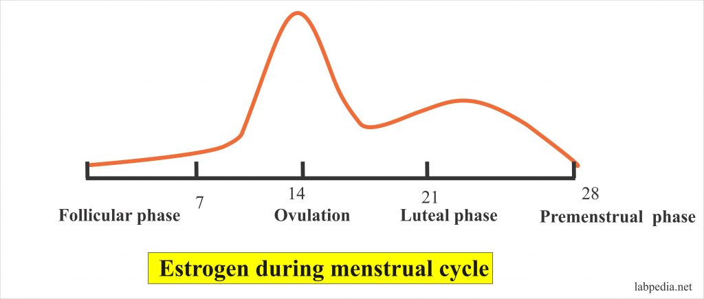 Level of Estrogen during the menstrual cycle