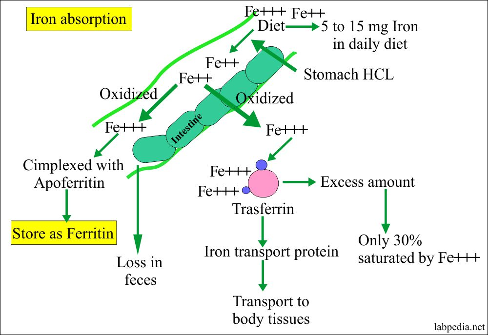 Iron absorption from various sites