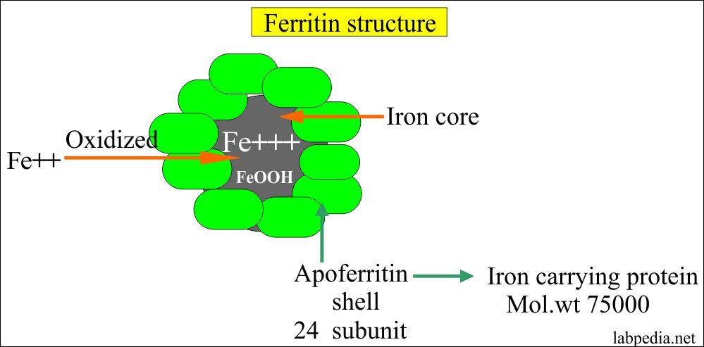 Ferritin structure