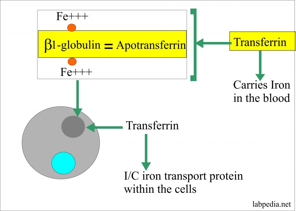 Iron and transferrin