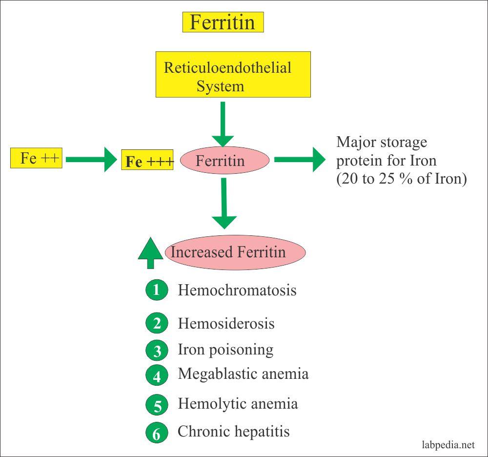 Ferritin (serum Ferritin Level)
