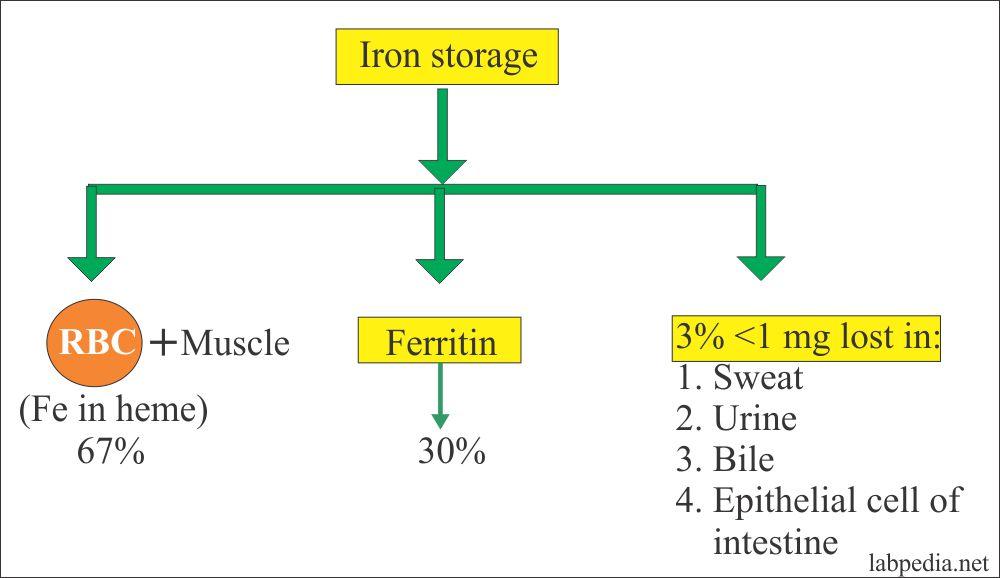 Iron storage in different sites