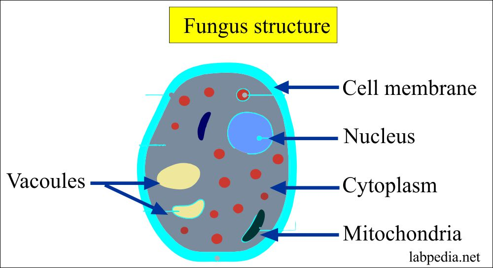 Fungus  Fungal Infections  Diagnosis Of Fungal Infection