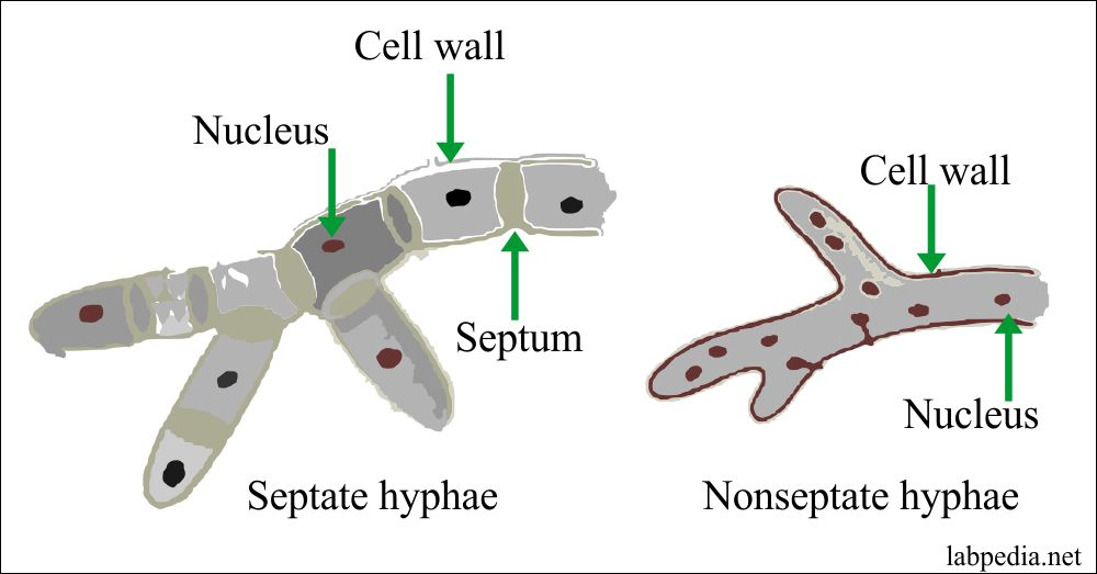 Structure of septate and non-septate fungus