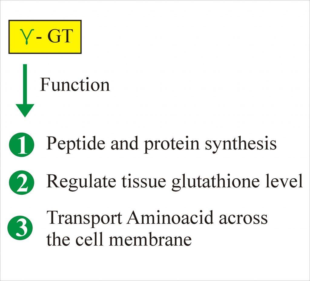 Gamma (γ) Glutamyl Transpeptidase (GGT), Gamma glutamyl transferase
