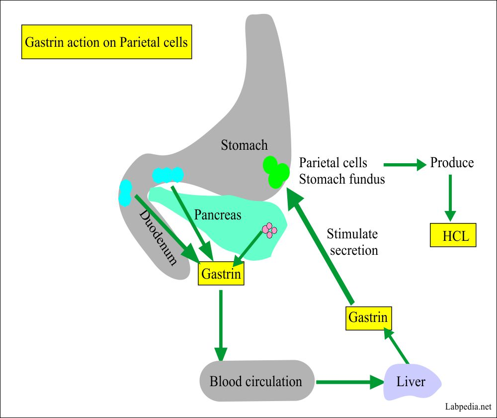 Mechanism of gastrin action