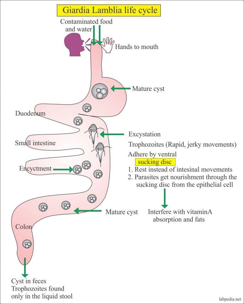 Giardiasis pathogenesis