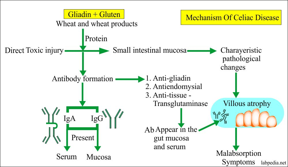 Mechanism of Celiac disease