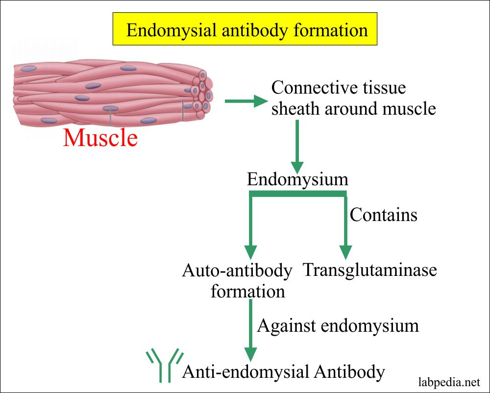 Mechanism of Endomysial antibody formation