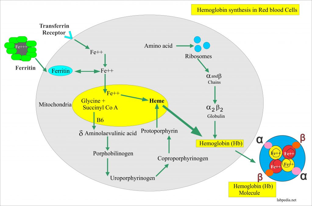 Hemoglobin synthesis process in the red blood cell