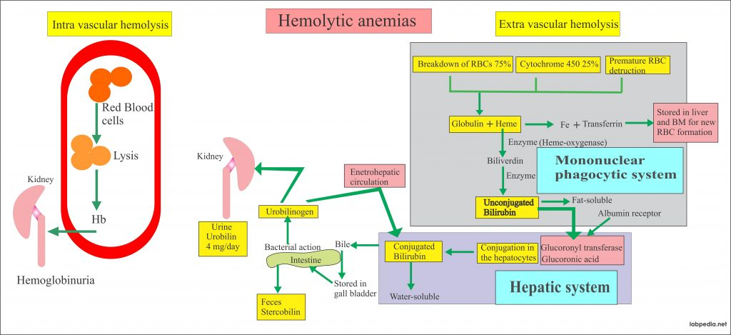Anemia – Part 2 – Hemolytic Anemias, Causes and Lab Diagnosis