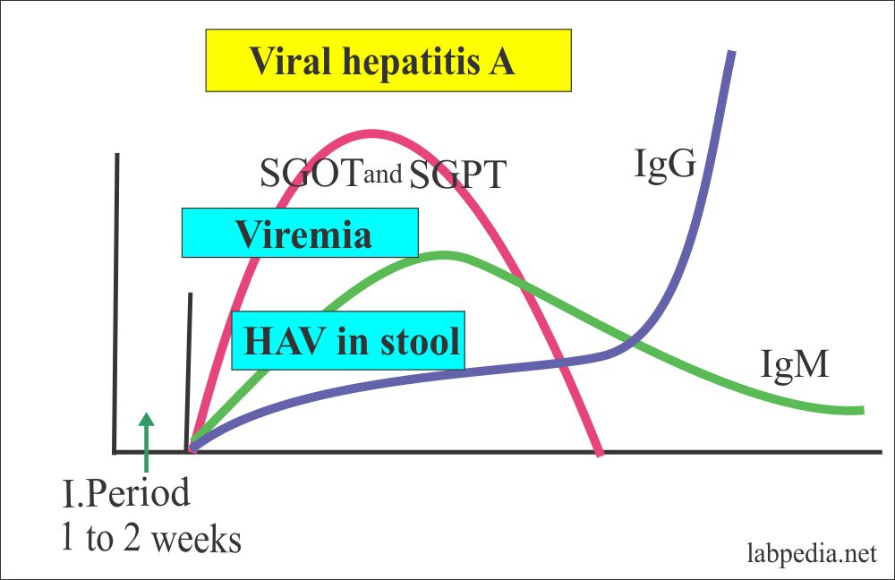 Hepatitis A Virus,  HAV
