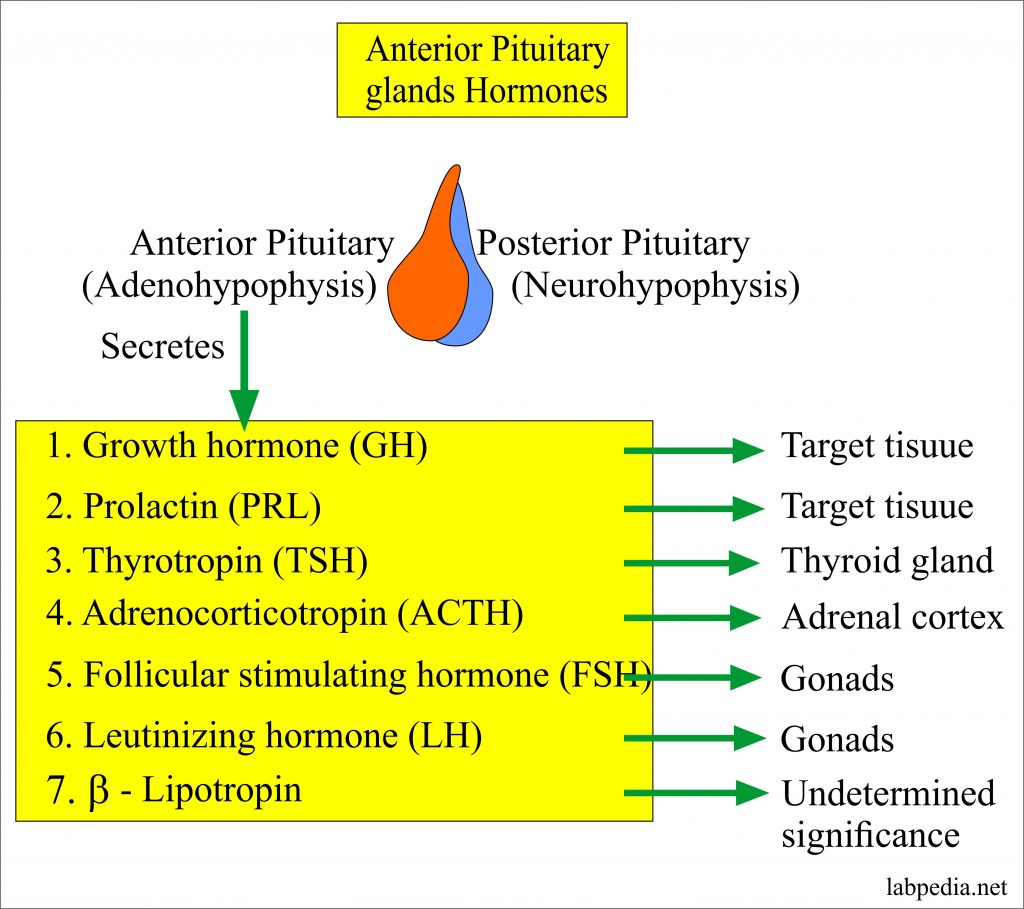 Anterior pituitary glands hormones