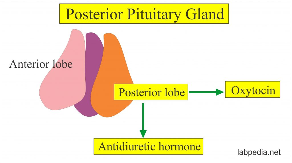 Hypothalamus and Pituitary Gland Hormones