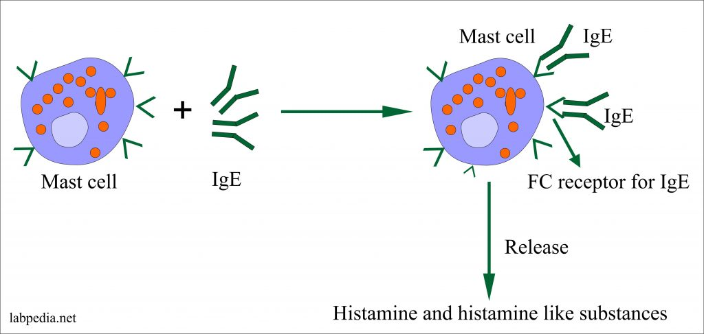 Histamine and Histamine like substances secreted by Mast cell