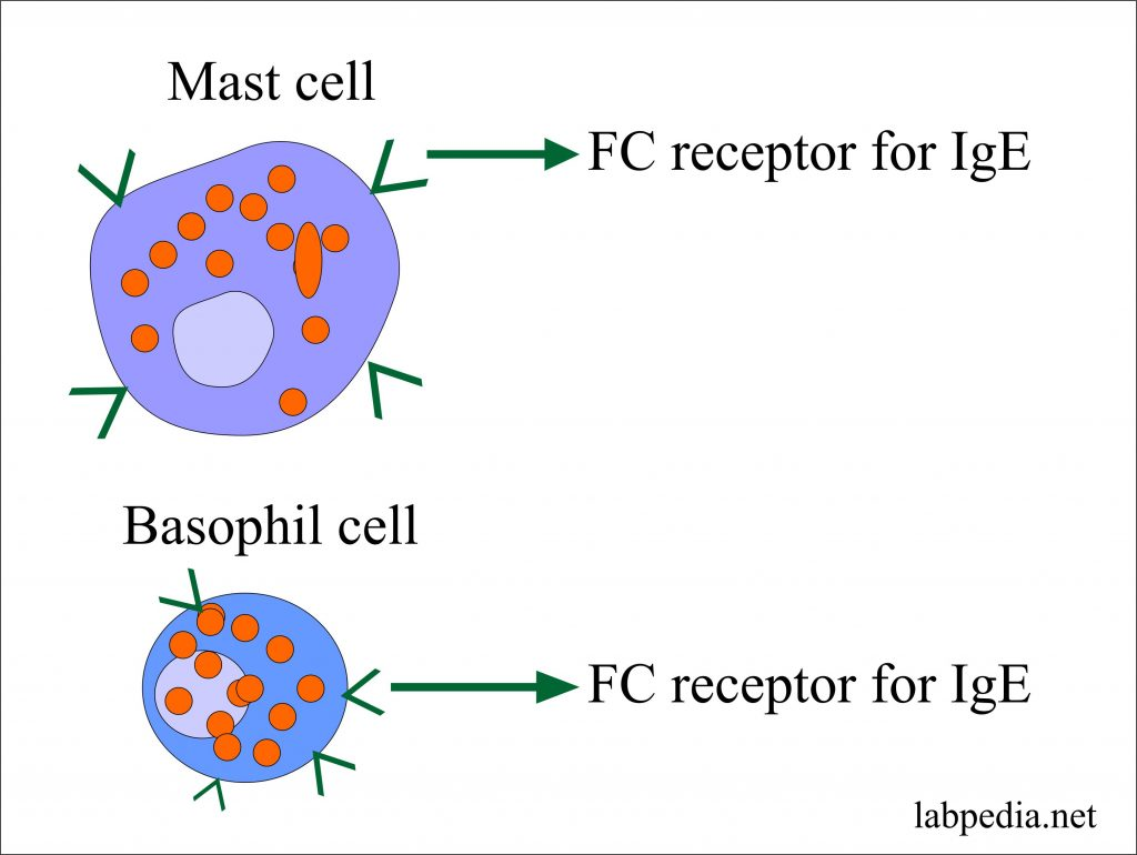 Fc Receptor on Mast cell and Basophil