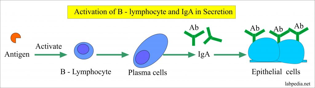 IgA immunoglobulin formation from the activated plasma cellA