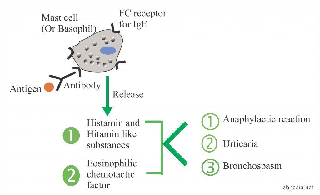 Immunoglobulin E (IgE)