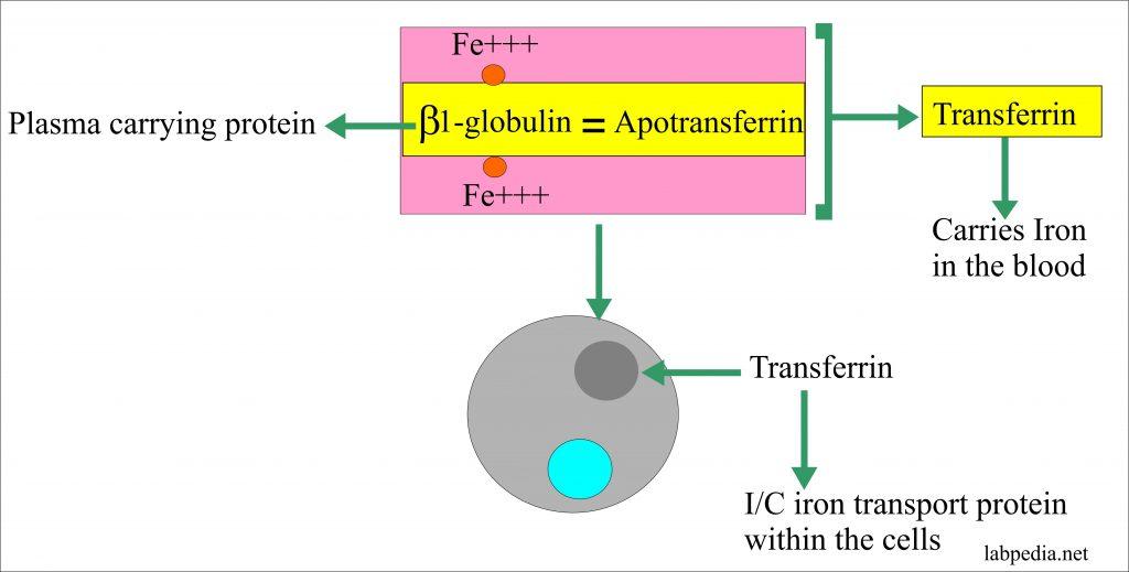 Transferrin Function