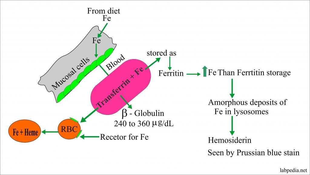 Iron Absorption and Distribution in the Body